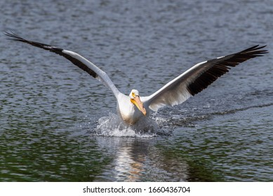 American white pelican, with spread wings, coming in for a landing on a small lake or pond. The black and white wings as well as the orange bill are reflected on the water.