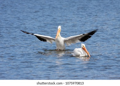 An American white pelican spreads its wings outward and curtsies to another unimpressed pelican.  The water bird  rises out of the lake in an effort to gain the attention of of its aloof companion.
