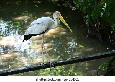 American White Pelican standing at wooden bridge