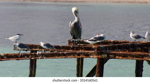 An American white pelican surrounded by seagulls perches on a rusted out dock frame in Camaguey province, Cuba.
