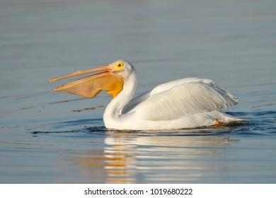 An American White Pelican swimming