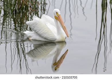 American White Pelican swimming with reflection