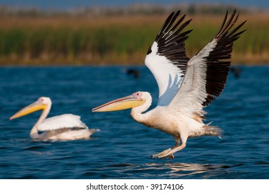 American White Pelican taking off