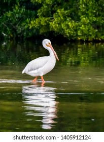 An American white pelican wades in shallow water at Ding Darling National Wildlife Refuge on Sanibel Island, Florida.