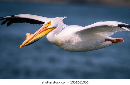 American White Pelican in Wisconsin