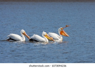 An american white pelicans lead two others on a boring swim. The lead pelican yawns as they paddle close together on a quiet blue lake.