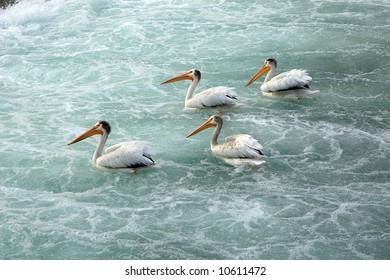 American White Pelicans on Bow river, Calgary, Alberta