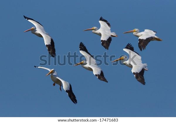 american-white-pelicans-pelicanus-erythr
