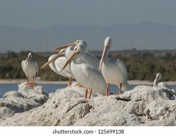 American white pelicans, the Salton sea