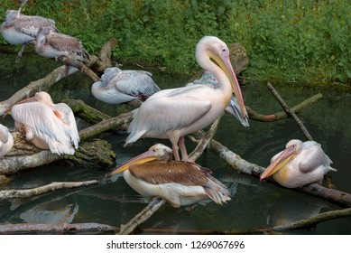 American white pelicans sleeping on the branches in a group. Pelecanus erythrorhynchos. Close up