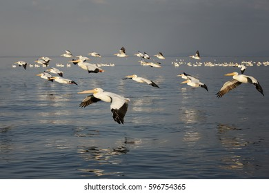 American White Pelicans swimming and flying over a lake in the wilderness with beautiful reflection in the water