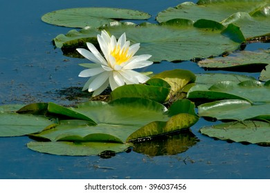 American White Waterlily flower on lily pads floating on the surface of the pond. Also knows as a Beaver-root, Fragrant Water Lily and Sweet-scented Water Lily. Rouge National Urban Park, Toronto, Ont