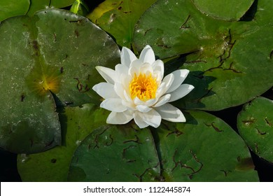 American White Waterlily growing amongst a mat of lily pads. Also knows as a Beaver-root, Fragrant Water Lily and Sweet-scented Water Lily. Don Valley Brickworks Park, Toronto, Ontario, Canada.