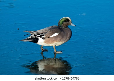 The American widgeon (Anas Penelope) is a dapping duck, formerly called the baldpate.