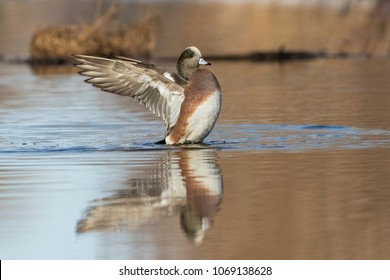American wigeon (Mareca americana) drake in spring