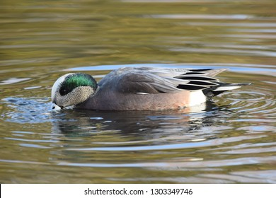American Wigeon at the park