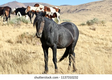 American Wild Horses, aging powerful and majestic black stallion horse close-up in the high Sierra Nevada desert and mountains