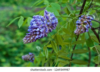 American wisteria (Wisteria frutescens) blooming in spring. This native vine is preferred by gardeners who want to avoid planting the far more common but highly invasive Asian wisteria.