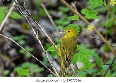 American yellow warbler carrying nest material in brushy undergrowth. It is a New World warbler species and is in the diverse genus Setophaga. It breeds in almost the whole of North America.