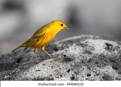 An American Yellow Warbler, a kind of small songbird, standing on grey volcanic rock on the Galapagos Archipelago, Ecuador.