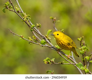 American yellow warbler perched on a branch.  Taken in Connecticut in spring.