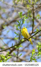 An American Yellow Warbler sings for a mate at Toronto, Ontario's popular Ashbridges Bay Park during spring migration.