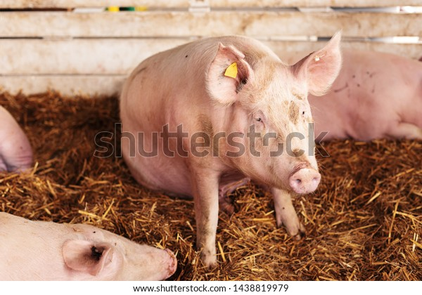 American Yorkshire Female Pigs Pen On Stock Photo Edit Now