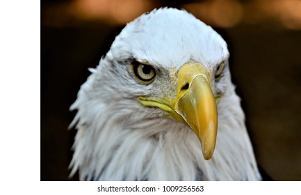 American Bald Eagle Its Images Stock Photos Vectors Shutterstock