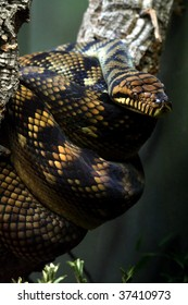 Amethystine Python (Morelia amethistina)