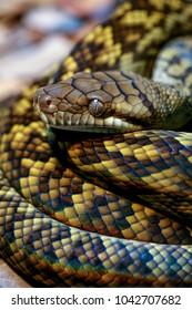 Amethystine Scrub Python Coiled