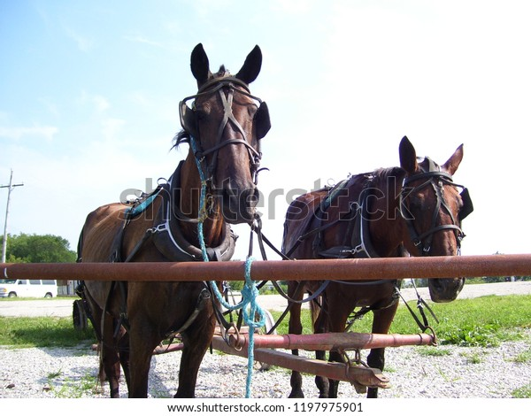 Amish Cart Horses Wait Local Grocery Stock Photo (Edit Now