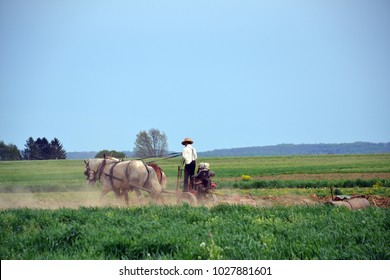 Amish farmer using 2 horse hitch antique plow in the field.