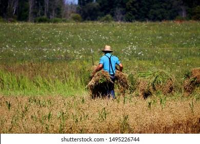 Amish man in blue shirt hauling hay