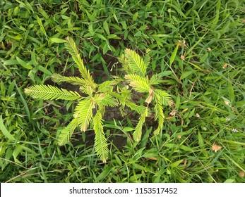 Amla Tree,  Phyllanthus emblica, also known as emblic, emblic myrobalan, myrobalan, Indian gooseberry, Malacca tree, family Phyllanthaceae