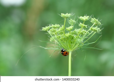 Ammi Majus or bishop's weed or bishop's flower or bullwort or laceflower