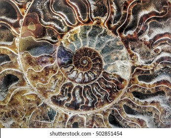 ammonite fossil Cephalopoda ammonoidea of Madagascar revealing the mathematic spiral of fibonacci