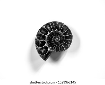 Ammonite fossil cross section detail in black and white against white background. Background of extinct marine mollusc animal for evolution, paleontology, geology, prehistory, fibonacci concept