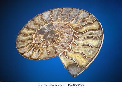Ammonite fossil, Polished on blue gradient