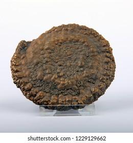 Ammonite pyritized. Closeup.