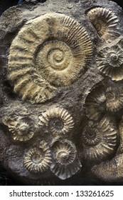 Ammonites fossil.