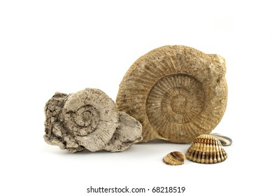 Ammonites found in the limestone rocks of the Cretaceous period