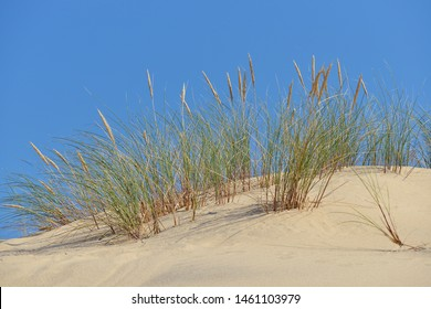 Ammophila arenaria on the Dune of Pilat located in La Teste-de-Buch in the Arcachon Bay area, in the Gironde department in southwestern France