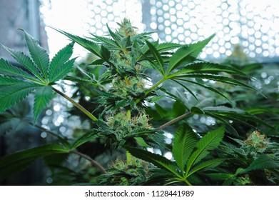 Amnesia haze strain. Marijuana buds growing indoor.