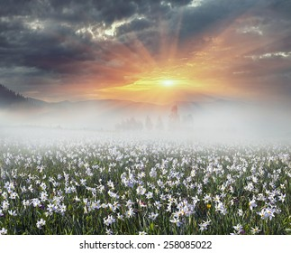 Among the background of mountains and river valleys in the spring grow beautiful wild flowers- daffodils. They are especially beautiful and fragrant sunrise with fog and the gentle rays or night