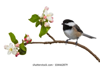 Among the flowering blossoms of an apple tree, a black capped chickadee perches itself. The black and white feathers contrast well with the colorful pink and white blossoms. On a white background.