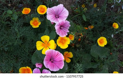 Among the grass are purple, yellow and red eschscholzia californica