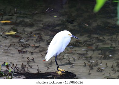 Among the most elegant of the herons, the slender Snowy Egret sets off immaculate white plumage with black legs and brilliant yellow feet.This is an immature Snowy Egret.