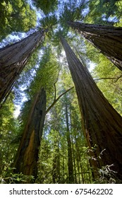 among the tallest of Redwood trees, looking up in wonder