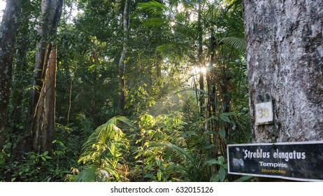 Among the types of forest tree found in tropical rain forests in johor  national parks Johor, Malaysia