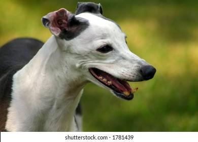 Amore The Italian Greyhound